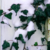 Snow on some Ivy growing around our backdoor.