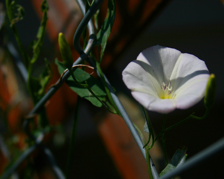 Pretty little flower using the chain link to climb.