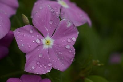 Flower and Rain
