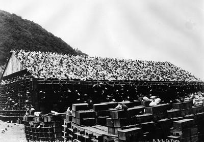 1900, Pigeon Farm