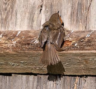Basking Robin