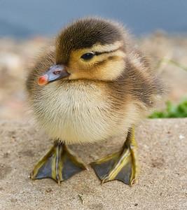 Mandarin Duck chic