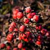 Berry Frosty