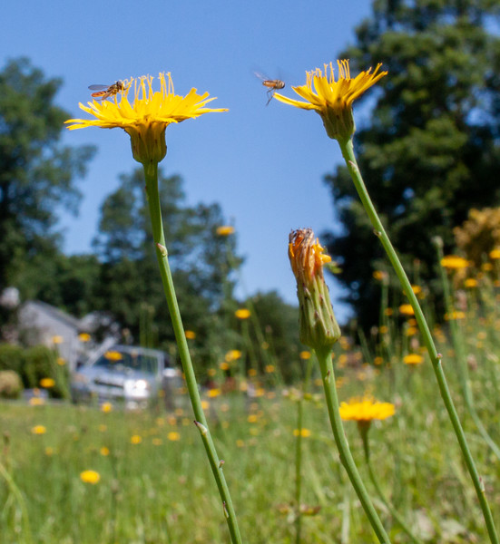 Dandelions and Bugs