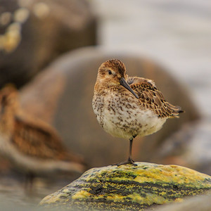 Dunlin, Herdla, outside Bergen, Norway, October 2013