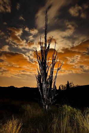 196/365 - The (burnt) Centennial Cypress Tree