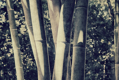 Sunlit Bamboo