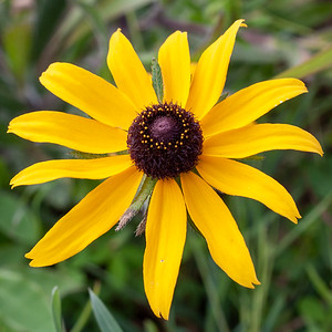 one black eyed susan