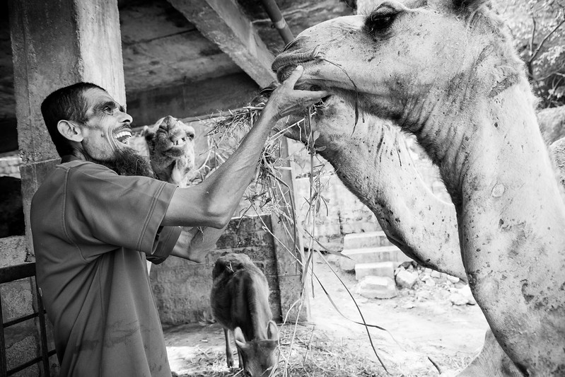 The caretaker from Blue Cross of Hyderabad feeds the rescued camels.<br /> Organization: Blue Cross of Hyderabad.<br /> Hyderabad, Telangana, India. January 2015.<br /> ---------<br /> Le gardien s'occupe et nourrit les chameaux qui ont été rescapés par Blue Cross of Hyderabad.<br /> Organisme: Blue Cross of Hyderabad.<br /> Hyderabad, Telangana, Inde. Janvier 2015.