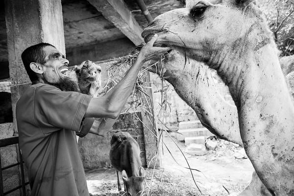 The caretaker from Blue Cross of Hyderabad feeds the rescued camels.<br /> Organization: Blue Cross of Hyderabad.<br /> Hyderabad, Telangana, India. January 2015.<br /> ---------<br /> Le gardien s'occupe et nourrit les chameaux qui ont été rescapés par Blue Cross of Hyderabad.<br /> Organisme: Blue Cross of Hyderabad.<br /> Hyderabad, Telangana, Inde. Janvier 2015.