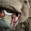 A member of Wildlife S.O.S feeds and inspects the mouth of one of the many elephants they have rescued.<br /> Organization:  Wildlife S.O.S<br /> Agra, Uttar Pradesh, India. February 2015.<br /> ---------<br /> Un gardien de  Wildlife S.O.S nourrit et inspecte la bouche de l'un des éléphants secourus par l'organisme.<br /> Organisme:  Wildlife S.O.S<br /> Agra, Uttar Pradesh, Inde. Février2015.