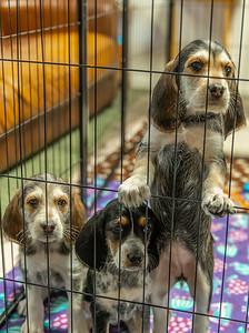 Otterhound Puppies