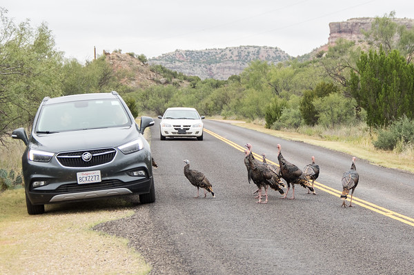 Wild turkeys looking for a handout, Palo Duro Canyon, Canyon, TX (Sep 2018)
