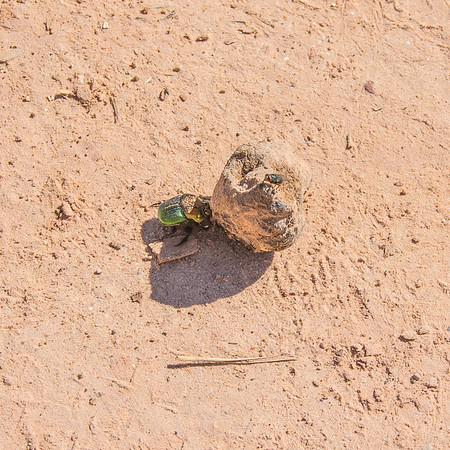 Rainbow scarab, dung beetle, Lighthouse Trail, Palo Duro Canyon, Canyon, TX (Sep 2018)