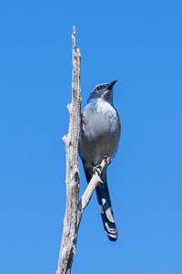 Mexican jay, Lighthouse Trail, Palo Duro Canyon, Canyon, TX (Sep 2018)