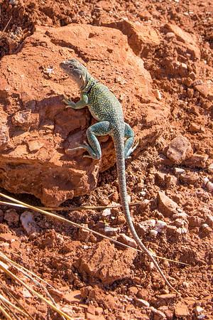 Collared lizard, Lighthouse Trail, Palo Duro Canyon, Canyon, TX (Sep 2018)