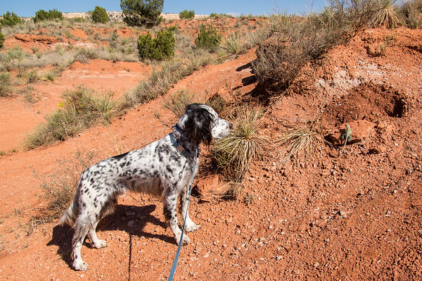 Not just a bird dog. Boole pointing collared lizard, Lighthouse Trail, Palo Duro Canyon, Canyon, TX (Sep 2018)