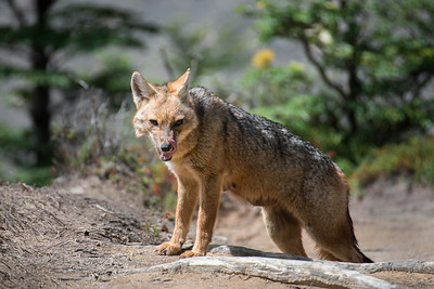 Red fox - Torres del Paine