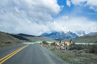 Guanacos on the road near Laguna Amarga