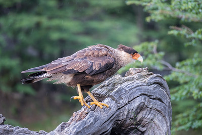 Southern caracara, Torres del Paine