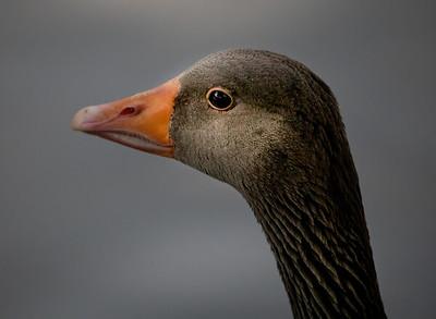 Goose Portrait-7151