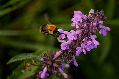 Carder Bee on Purple Toadflax - Forty Hall