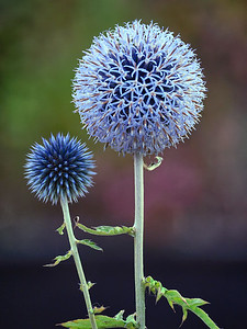 Meet My Son Spikey... - Globe Thistle Forty Hall