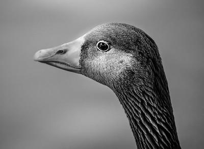 Goose Portrait B&W-7151