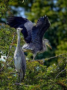 Imm. Grey Herons, Verulaneum Park