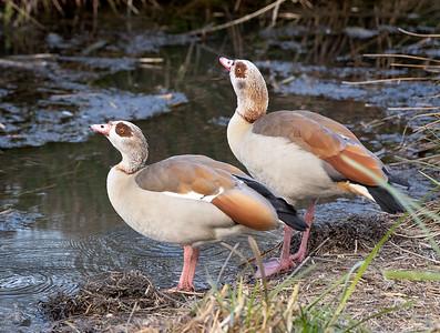 Egyptian Geese, Fire Farm Wetlands