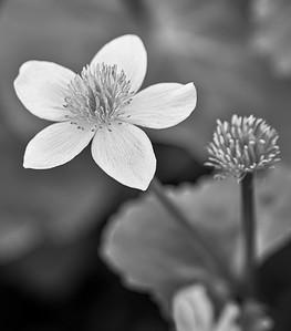 Marsh Marigold (B&W)