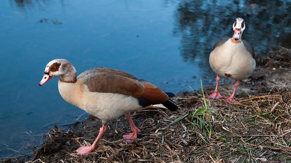 Egyptian Geese, Firs Farm Wetlands