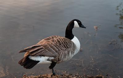 Canada Goose, First Farm Wetlands