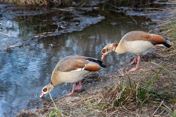 Egyptian Geese,  Firs Farm Wetlands-0752