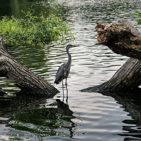 Female Heron - Kath