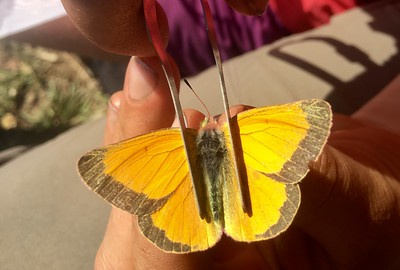 Orange sulphur at Bear Basin, Montana PC: Emma Bode