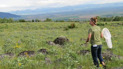 Hannah searches  for butterflies. Bridger Mountains, MT. PC Michelle Toshack