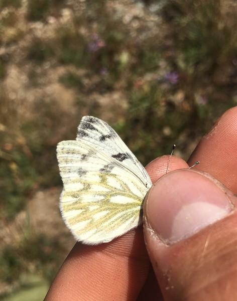 Western white in Bear Basin, Montana PC: Emma Bode