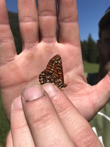 Checkerspot butterfly in Montana PC: Sarah Horak