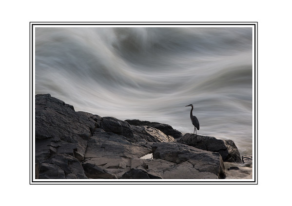 Blue Heron, Great Falls National Park