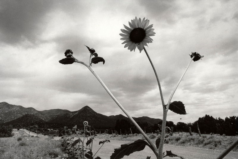 Sunflower. New Mexico. 2003.