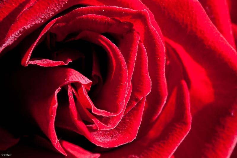 287 - Rose