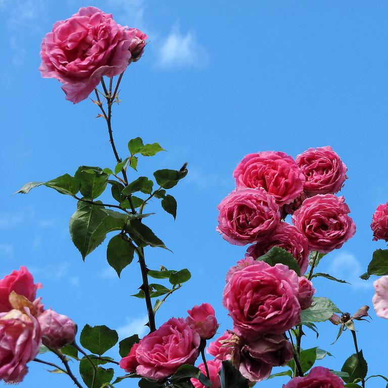 170 - Wedding Roses