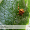 "Project 365: July 28 - Arachnid. This tiny little cat-face spider spins his web in our ivy. Only about a 1/4"" body right now. Eat them skeeters and flys and grow!"