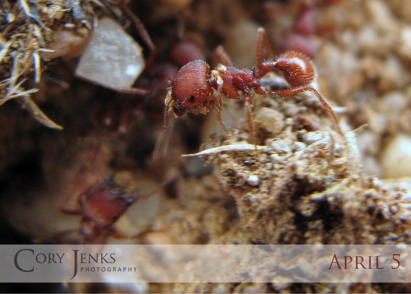 """Project 365: April 5 - Spring Cleaning. Red ants very busy hauling sand out of their 'hill'. Not the best focus, but the G10's macro feature still amazes me. These little guys were no longer than a 1/4""""."""