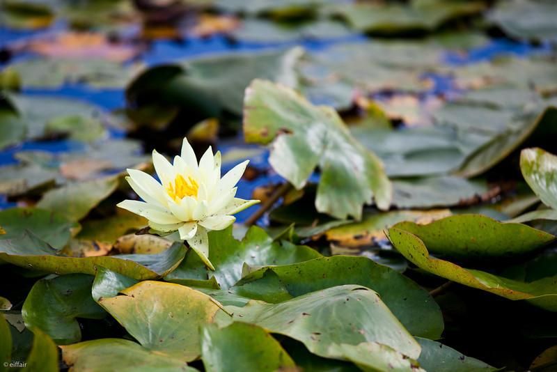 255 - A fleur d'eau