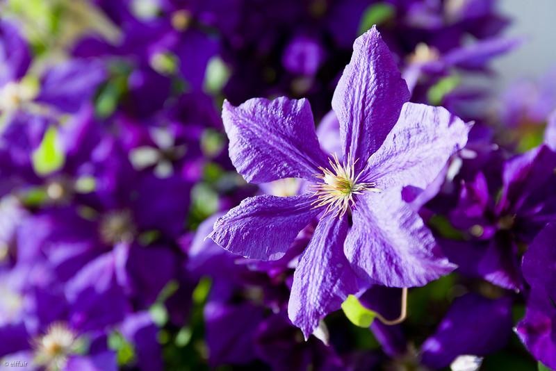 178 - Purple
