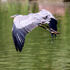 Project 365: July 27 - Blue Heron. Been trying to get a decent picture of one of these for the longest time. This is the best to date.