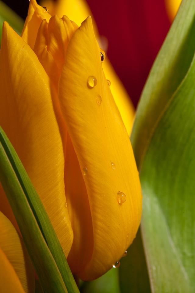 026 - Tulips<br /> ---------------<br /> Un peu de couleur pour changer du gris de l'hiver.<br /> <br /> Some bright colors to change from the dull winter.