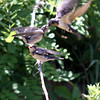 Project 365: July 25 - Mother's Duty. Caught a glimpse of nature at it's basic. A mother swallow tail feeding her two babies; the look more like teenagers though, and I know how much teenagers eat.